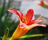 Orange lilja med flygkrypet Arkivfoto