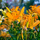 Orange liljablomma Arkivfoton