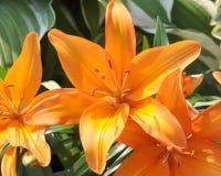 Orange liljablomma Fotografering för Bildbyråer