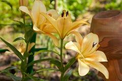 Orange liljablomma i trädgården fotografering för bildbyråer