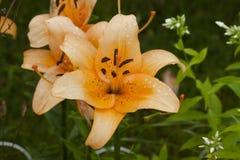 Orange liljablommanärbild Arkivfoton