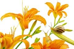 Orange liljablommor, Lilium, droppe och par av sniglar som isoleras på vit Royaltyfri Bild