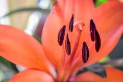 Orange liljadetalj Royaltyfri Fotografi
