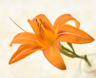 orange liljar Royaltyfri Fotografi