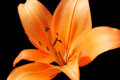 orange liljar arkivfoto
