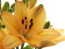 orange liljar royaltyfri bild