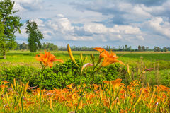 orange liljar Fotografering för Bildbyråer