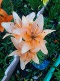 orange liljar royaltyfria bilder