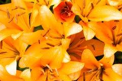 Orange liljor i vattensmå droppar arkivbild