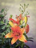 Orange liljor som blommar på en säng av blommor Royaltyfria Foton
