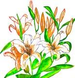 Orange liljor som målar Arkivfoto