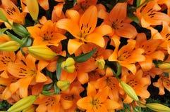 Orange Lillies Lizenzfreie Stockfotos