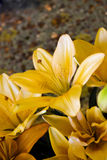 Orange lillies Stock Photography