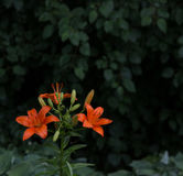 orange lillies Royaltyfria Foton