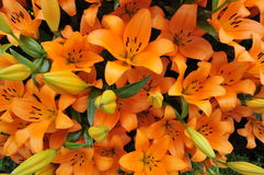 Orange Lillies. Beautiful lily flowers in bouquet Royalty Free Stock Photos