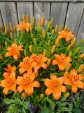Orange lillies. Blooming in flower bed Stock Photo