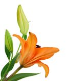 Orange lillies flower Stock Photo