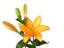 Orange lilly. On the white Royalty Free Stock Photography