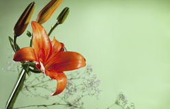Orange lilly Photo stock