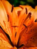 Orange Lilly Stockbild