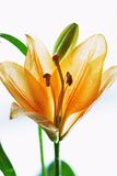 Orange lilly Images libres de droits