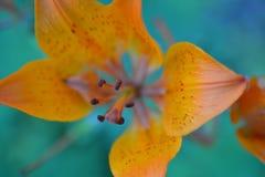 Orange Lilly Stockfoto