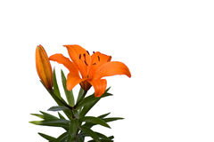Orange lilly. On the white background Royalty Free Stock Photos