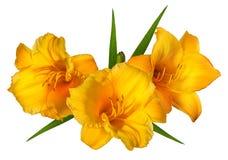 Orange Lilly blomma på vit Arkivbild