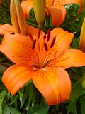 Orange lilly bloom. Petals and stamen Royalty Free Stock Image