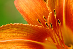 Orange lilly Royalty Free Stock Photos