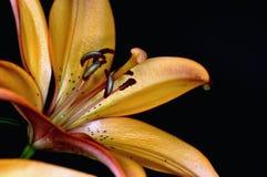 Orange lilly flower Stock Photos
