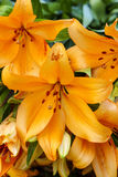 Orange lilly flower Royalty Free Stock Images