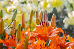 Orange lilly flower Royalty Free Stock Photo