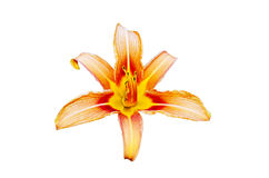 Orange lilly flower isolated. Beautiful multicolored lilly flower isolated on white background Royalty Free Stock Photos