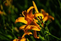 Orange lilly flower on natural green backgound.  stock photography