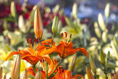 Orange lilly flower in nature background Royalty Free Stock Photography