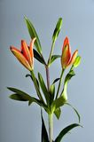 Orange lilly flower. Perfect Orange Lily Flower bud Royalty Free Stock Image