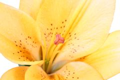 Orange lilly flower on white b Royalty Free Stock Photos