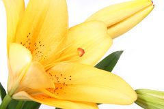 Orange lilly flower on white b Royalty Free Stock Images