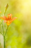 Orange lilly flowers Royalty Free Stock Images
