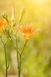 Orange lilly flowers Stock Photos