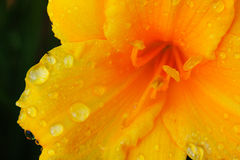 Orange Lilly after rainfall. Orange Lilly close-up with water on petals, after a rainfall Royalty Free Stock Images