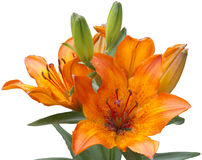 Orange lilly on white background Stock Images