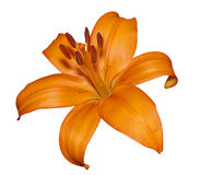 Orange Lily Stock Photos