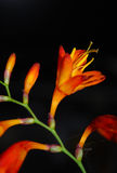 Orange lily. Blossom isolated on black Stock Image