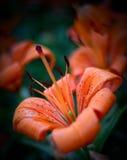 Orange lily Stock Photography
