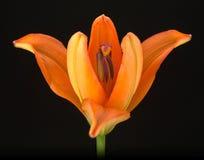 Orange Lily 2 Stock Photography