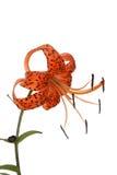 The orange lily Stock Photo