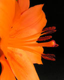 Orange Lily. An asiatic lily that grows in my flower garden Royalty Free Stock Images