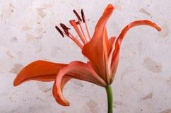 Orange Lily Against Rice Paper Stock Photos